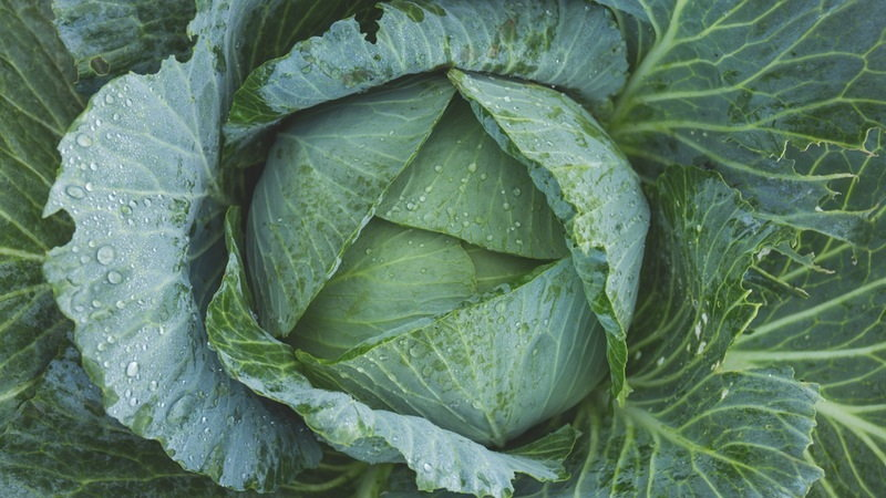 cabbage in may