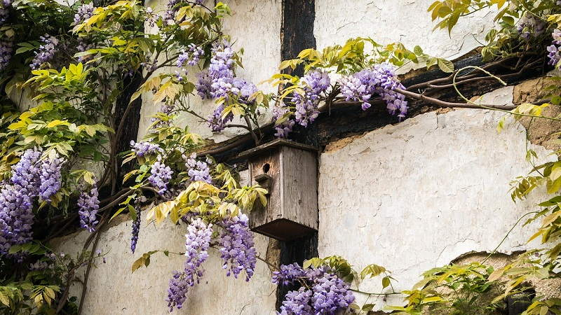 wisteria and climbing shrus