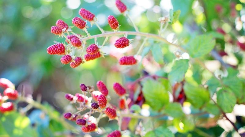 Picking Autumn Raspberries