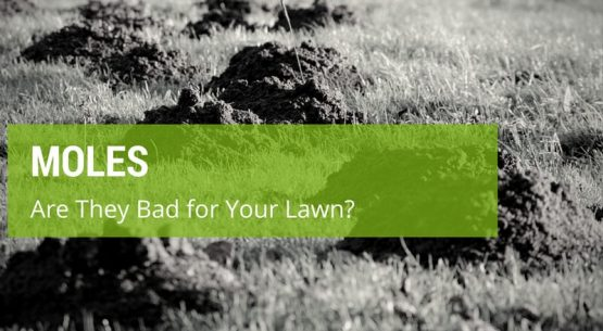 are moles bad for your lawn
