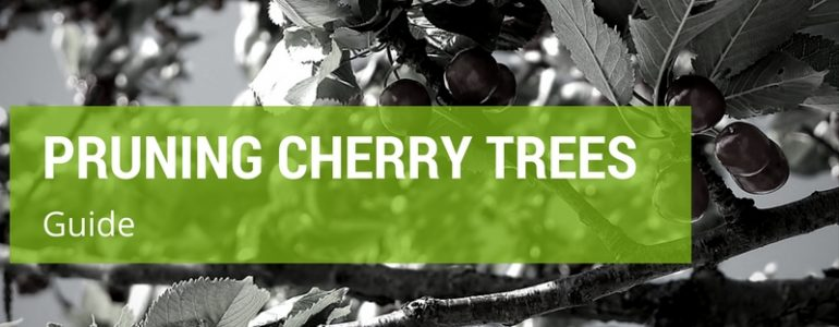 how to prune cherry trees