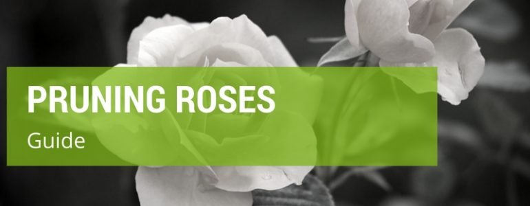 Smart Tips On How To Prune Climbing Roses