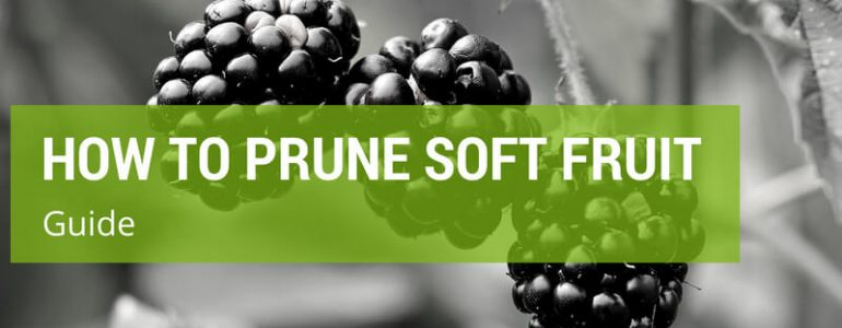 how to prune soft fruit