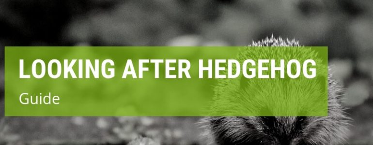 how to look after a hedgehog
