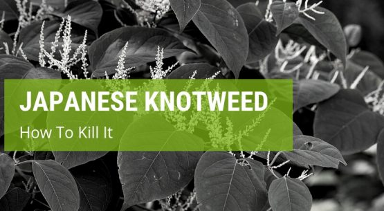 how to kill japanese knotweed