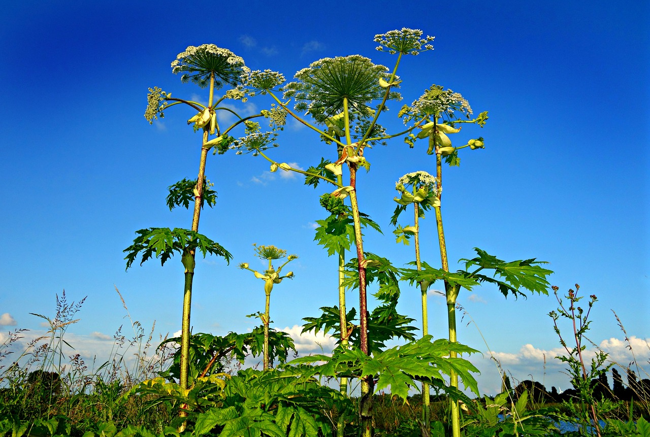 how to identify hogweed