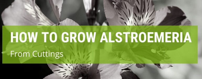 how to grow alstroemeria from cuttings