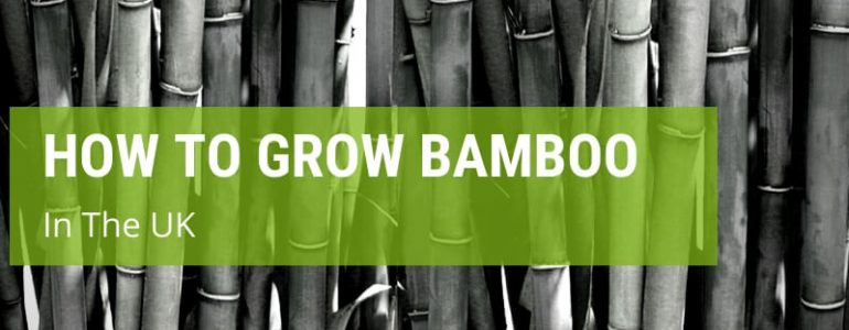how to grow bamboo in uk