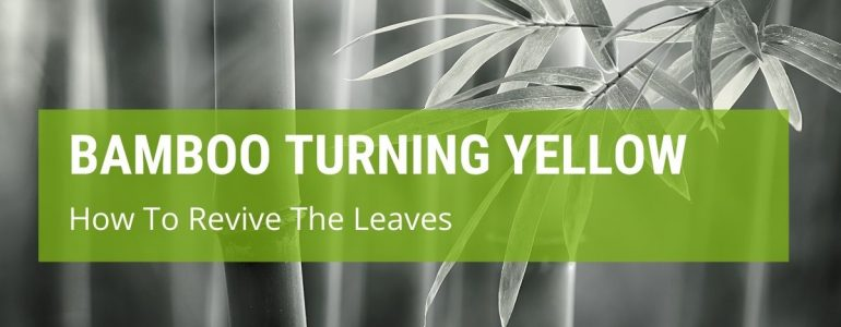 how to revive bamboo leaves turning yellow