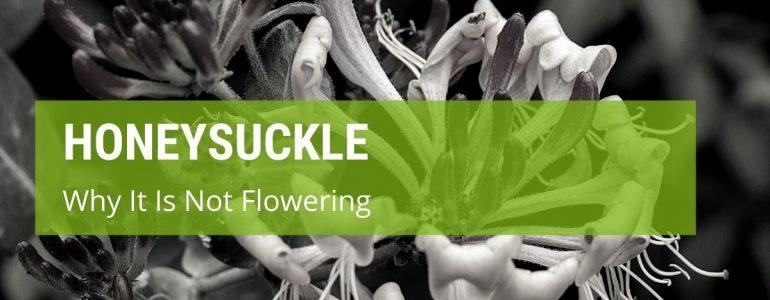 why is my honeysuckle not flowering
