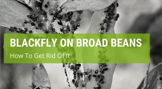 how to get rid of blackfly on broad beans