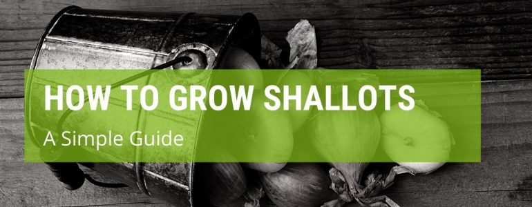 How To Grow Shallots: A Simple Guide
