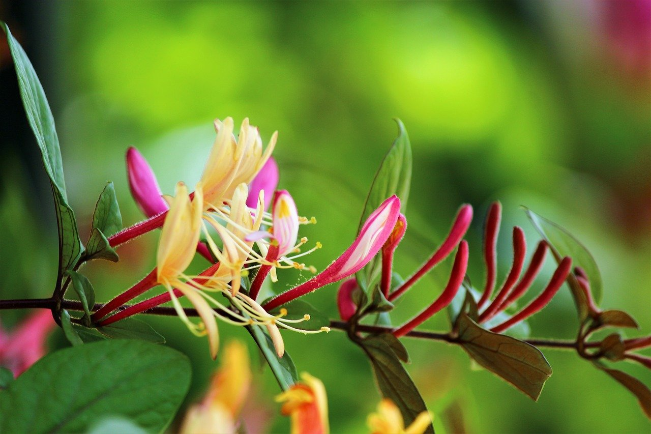 Tips on how to grow honeysuckle in a pot