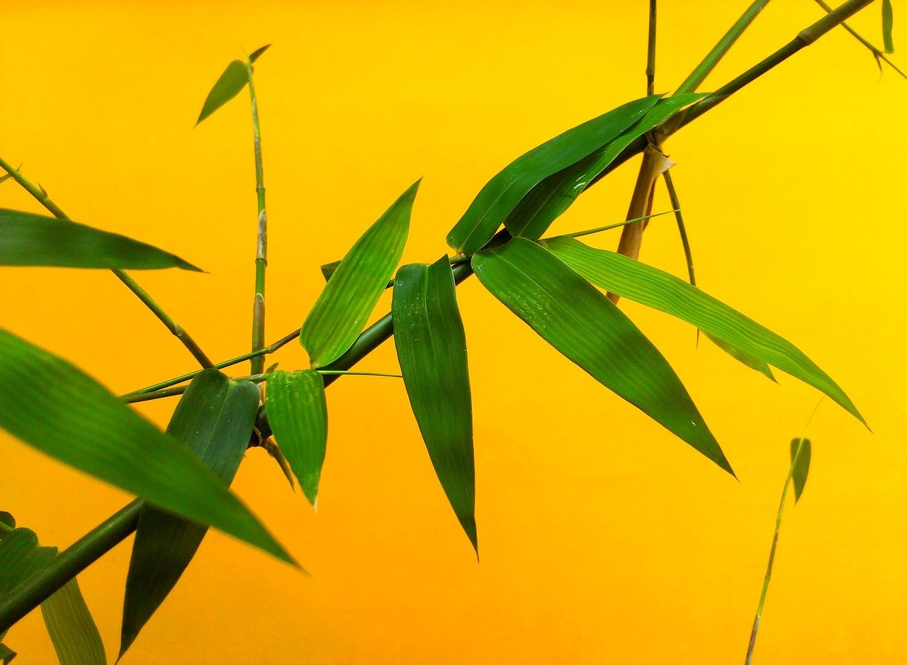 Why do bamboo leaves turn yellow