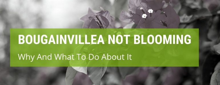 How To Keep Bougainvillea Blooming?