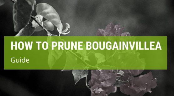 how to prune bougainvillea