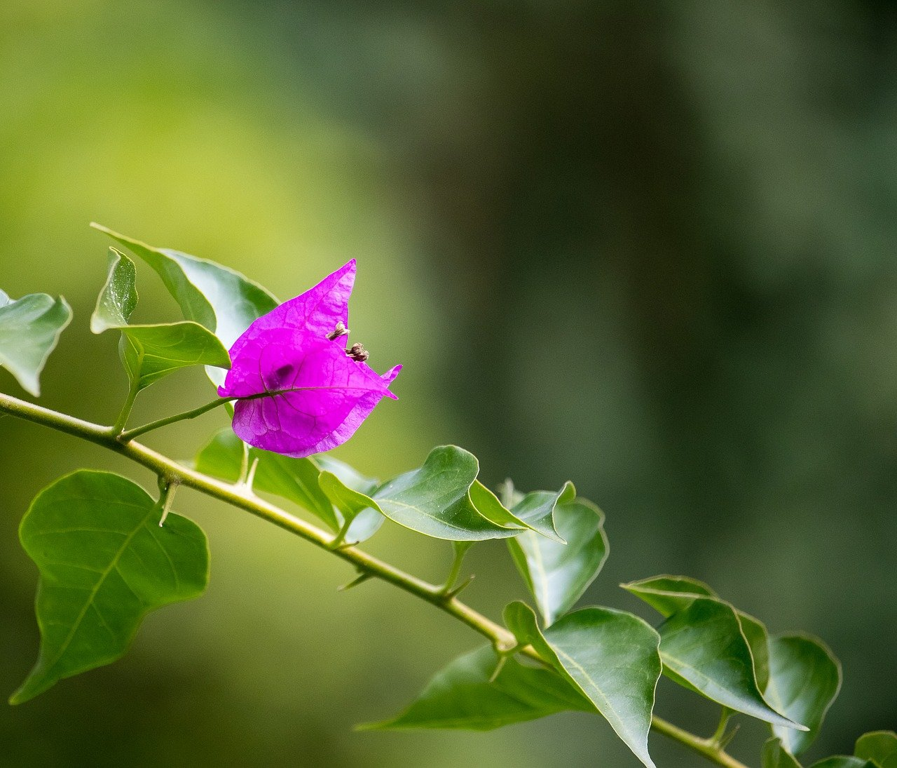 Plant your Bougainvillea