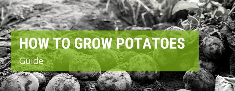 How To Grow Potatoes {A Simple Guide}