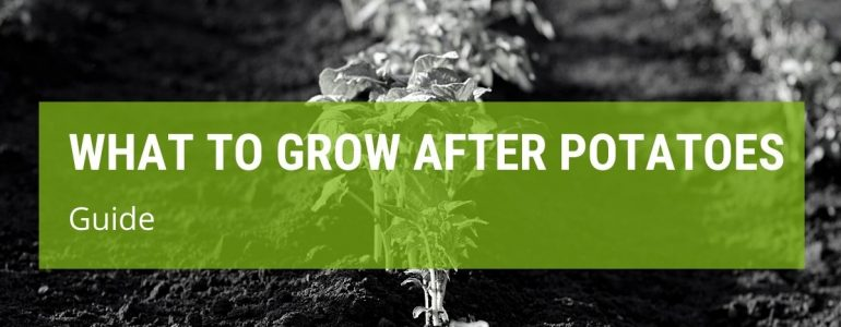 What To Grow After Potatoes {Best Crop To Plant}