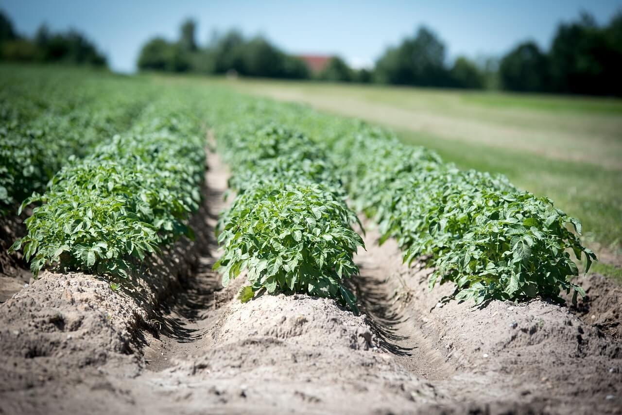 how do you grow potatoes from a potato